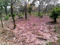 Un champ de coton abandonné